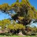 Podocarpus totara - Photo (c) Richard Nichol, algunos derechos reservados (CC BY-NC)