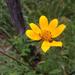Bidens polylepis - Photo (c) Corey Lange, algunos derechos reservados (CC BY-NC)
