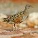 Corn Crake - Photo (c) lorenzodotti, some rights reserved (CC BY-NC)
