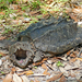 Suwannee Alligator Snapping Turtle - Photo (c) Giff Beaton, some rights reserved (CC BY-NC)