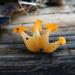 Hongos de Gelatina - Photo (c) tombigelow, algunos derechos reservados (CC BY-NC)