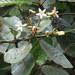 Ladenbergia macrocarpa - Photo (c) Bioexploradores Farallones, μερικά δικαιώματα διατηρούνται (CC BY-NC)