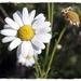 Argyranthemum foeniculaceum - Photo (c) Carlos SM, algunos derechos reservados (CC BY-NC-ND)