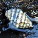 Cronia aurantiaca - Photo (c) sea-kangaroo, algunos derechos reservados (CC BY-NC-ND)