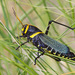 Taeniopoda eques - Photo (c) Greg Lasley,  זכויות יוצרים חלקיות (CC BY-NC)
