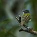 Tolmomyias sulphurescens - Photo (c) Salvador Poot Villanueva,  זכויות יוצרים חלקיות (CC BY-NC)