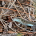 Six-lined Racerunner - Photo (c) rsnyder11, some rights reserved (CC BY-NC-SA)