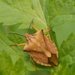 Carpocoris fuscispinus - Photo (c) Alexis, some rights reserved (CC BY)