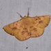 Anthela astata - Photo (c) Cherylyn Riley, some rights reserved (CC BY-NC)