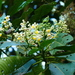 Saurauia tomentosa - Photo (c) Holger Beck, μερικά δικαιώματα διατηρούνται (CC BY-NC)