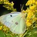 Clouded Yellows - Photo (c) Jimmy Dee, some rights reserved (CC BY-SA)