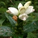 Chelone glabra - Photo (c) Ken-ichi Ueda,  זכויות יוצרים חלקיות (CC BY)