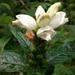 Chelone glabra - Photo (c) Ken-ichi Ueda, algunos derechos reservados (CC BY)