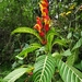 Sanchezia oblonga - Photo (c) sandyespinoza, μερικά δικαιώματα διατηρούνται (CC BY)