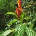 Sanchezia oblonga - Photo (c) sandyespinoza, algunos derechos reservados (CC BY)
