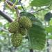 Alnus incana tenuifolia - Photo (c) Damon Tighe, osa oikeuksista pidätetään (CC BY-NC)