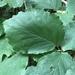 Hamamelidaceae - Photo (c) John Boback,  זכויות יוצרים חלקיות (CC BY-NC)