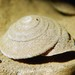 Mouldingia orientalis - Photo (c) simono, μερικά δικαιώματα διατηρούνται (CC BY-NC)