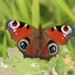 European Peacock Butterfly - Photo (c) S. Rae, some rights reserved (CC BY)