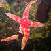 Asteriid Sea Stars - Photo (c) Ken-ichi Ueda, some rights reserved (CC BY)