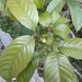 Karrabina benthamiana - Photo (c) Nick Lambert, algunos derechos reservados (CC BY-NC-SA)