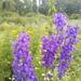 Delphinium dictyocarpum - Photo (c) ruslan, algunos derechos reservados (CC BY-NC)