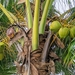 Coconut Palm - Photo (c) Attila Oláh, some rights reserved (CC BY)