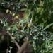 Artemisia pontica - Photo (c) T.Voekler, algunos derechos reservados (CC BY-SA)
