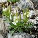 Cardamine resedifolia - Photo (c) Wolfgang Jauch, algunos derechos reservados (CC BY-SA)