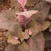 Atriplex hortensis - Photo (c) Vilma Bharatan, algunos derechos reservados (CC BY-NC-ND)