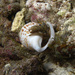 Dardanus scutellatus - Photo (c) Elisabeth Morcel, algunos derechos reservados (CC BY-SA)