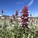 Agastache urticifolia - Photo (c) nhooper, algunos derechos reservados (CC BY-NC)