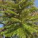 Árboles del Zope - Photo (c) Renata Xavier, algunos derechos reservados (CC BY-NC)