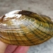 Eastern Lampmussel - Photo (c) Philippe Blais, some rights reserved (CC BY-NC-ND)