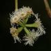 Eucalyptus obliqua - Photo (c) Alan Melville, osa oikeuksista pidätetään (CC BY-NC-ND)