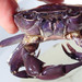 Angolan River Crab - Photo (c) Wilderness Safaris Botswana - Conservation Team, some rights reserved (CC BY)