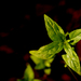 Mentha australis - Photo (c) Luis Mata, algunos derechos reservados (CC BY-NC)