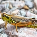 Red-legged Grasshopper - Photo (c) Denis Doucet, some rights reserved (CC BY-NC)