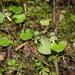 Corybas vitreus - Photo (c) memopob, some rights reserved (CC BY-NC)