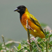 Black-headed Weaver - Photo (c) Nik Borrow, some rights reserved (CC BY-NC)