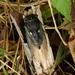 Neotibicen lyricen engelhardti - Photo (c) Elizabeth Green, algunos derechos reservados (CC BY-NC)