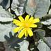 Crepis pygmaea - Photo (c) Emanuele Santarelli, μερικά δικαιώματα διατηρούνται (CC BY-SA)