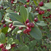 Coffeeberry - Photo (c) dickwood, some rights reserved (CC BY-NC)