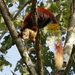 Indian Giant Squirrel - Photo (c) Subhadra Devi, some rights reserved (CC BY)