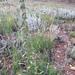 Oreocarya virgata - Photo (c) Kurt Herrmann, algunos derechos reservados (CC BY-NC)