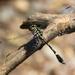 Gomphidictinus perakensis - Photo (c) purperlibel, osa oikeuksista pidätetään (CC BY-SA)