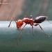 Camponotus lateralis - Photo (c) Marcello Consolo, algunos derechos reservados (CC BY-NC-SA)