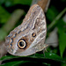 Teucer Owl Butterfly - Photo (c) Cláudio Dias Timm, some rights reserved (CC BY-NC-SA)