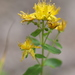 Imperforate St John's-Wort - Photo (c) John, some rights reserved (CC BY-NC)