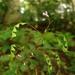 Hylodesmum nudiflorum - Photo (c) zen Sutherland, μερικά δικαιώματα διατηρούνται (CC BY-NC-SA)